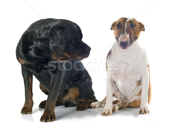 Byka terier rottweiler biały psa kobiet Zdjęcia stock © cynoclub