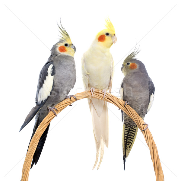 three cockatiel perching Stock photo © cynoclub