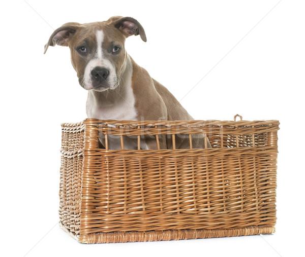 Kutyakölyök staffordshire terrier fehér kosár szállítás díszállat Stock fotó © cynoclub