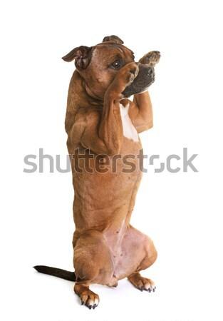 staffordshire bull terrier Stock photo © cynoclub