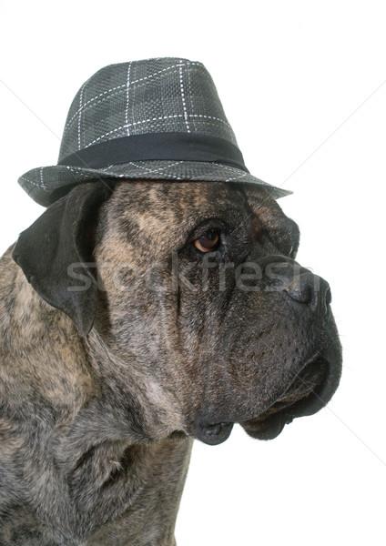 бык дог Hat белый собака весело Сток-фото © cynoclub