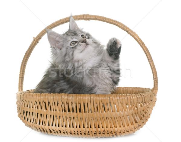 Stockfoto: Maine · kitten · witte · kat · mand · spelen