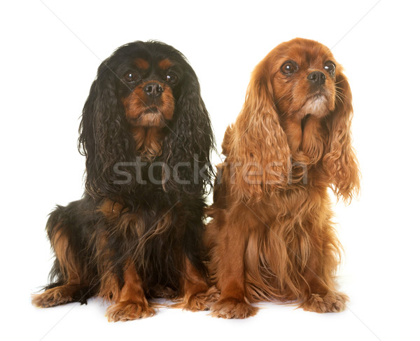 Roi couple noir animaux studio animal Photo stock © cynoclub
