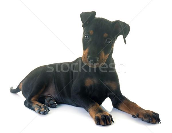 Kutyakölyök terrier fehér Stock fotó © cynoclub