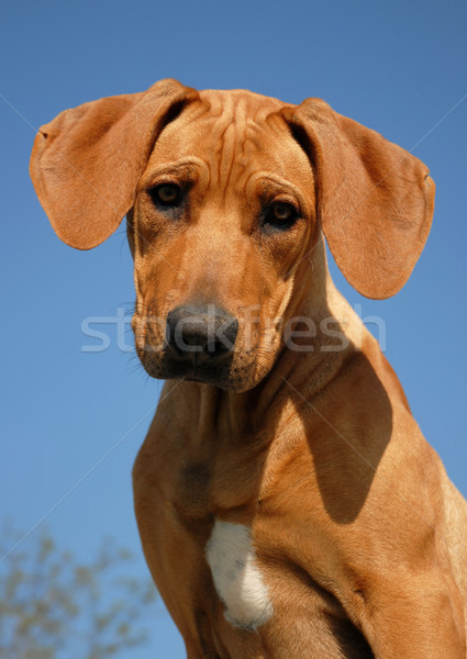 puppy Rhodesian ridgeback Stock photo © cynoclub