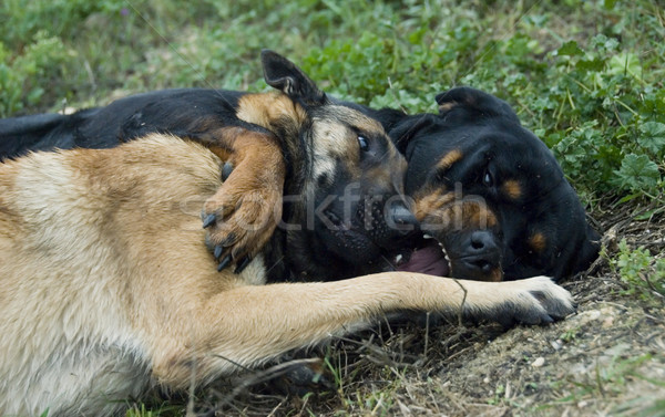 Giocare cani due erba rottweiler pastore belga Foto d'archivio © cynoclub