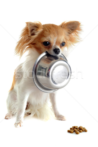 puppy chihuahua and food bowl Stock photo © cynoclub