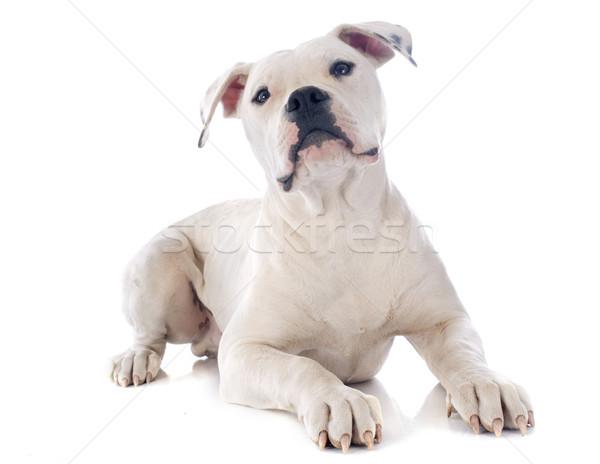 щенков Американский бульдог белый животного бульдог изолированный Сток-фото © cynoclub