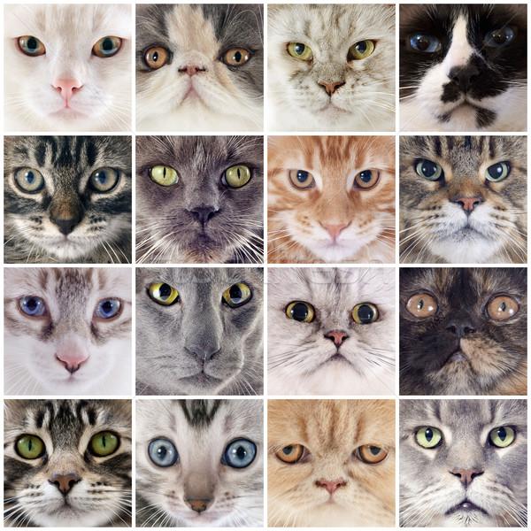 группа кошек портрет кошки голову Сток-фото © cynoclub