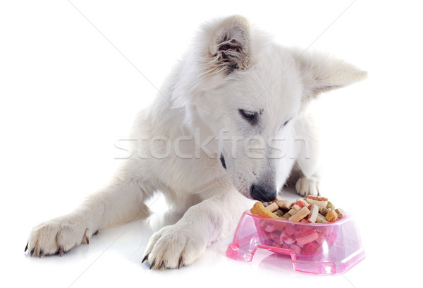 eating Swiss shepherd  Stock photo © cynoclub