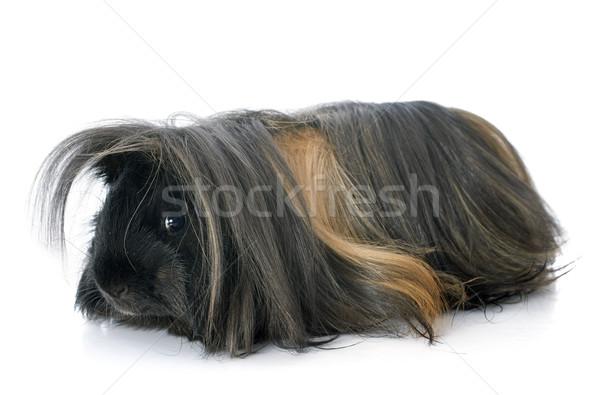 Kobay beyaz saç hayvan stüdyo sevimli Stok fotoğraf © cynoclub