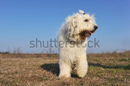 jumping westie Stock photo © cynoclub