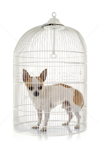 young chihuahua in cage Stock photo © cynoclub