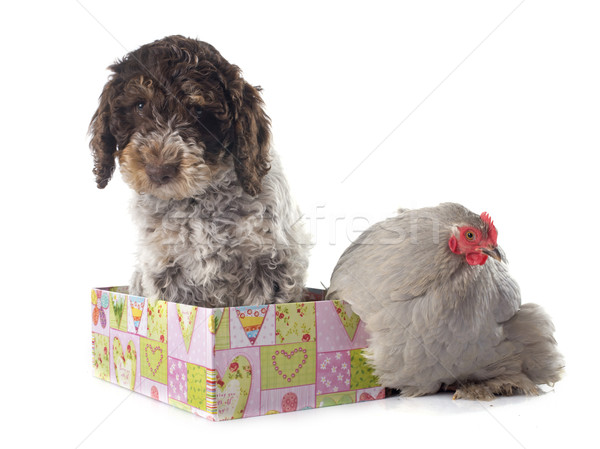 lagotto romagnolo and chicken Stock photo © cynoclub