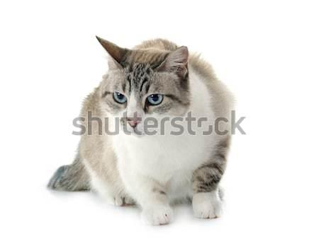 Sziámi macska fehér macska női állat felnőtt Stock fotó © cynoclub