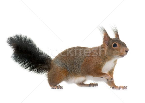 Piros mókus fehér stúdió Stock fotó © cynoclub