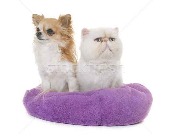 Stockfoto: Witte · perzische · kat · hond · ogen · dier · kitten