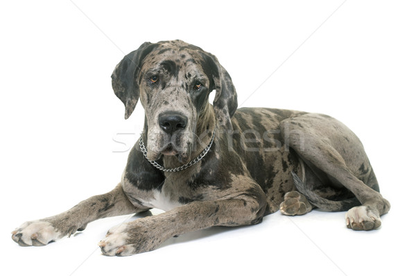 Great Dane in studio Stock photo © cynoclub