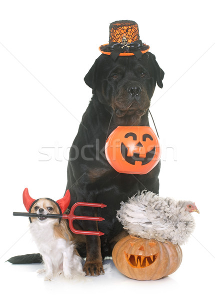 pets and pumpkin of halloween Stock photo © cynoclub