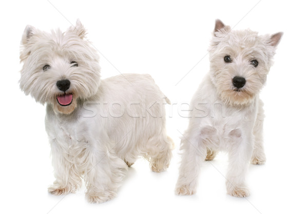 two west highland white terrier Stock photo © cynoclub
