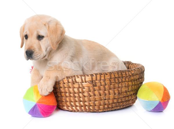 Stockfoto: Puppy · labrador · retriever · witte · hond · speelgoed · jonge