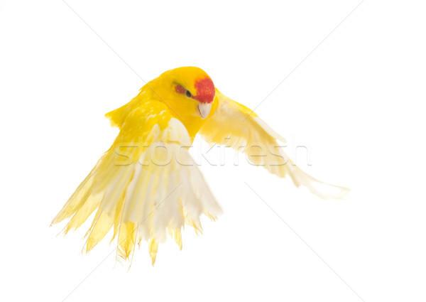 Red-fronted Kakariki parakeet Stock photo © cynoclub