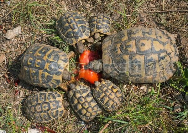 turtles hermann feeding Stock photo © cynoclub
