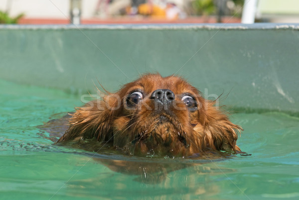 cavalier king charles in swimming pool Stock photo © cynoclub
