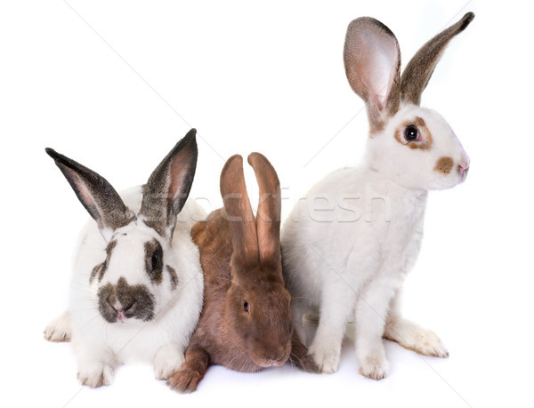 Checkered Giant rabbits Stock photo © cynoclub