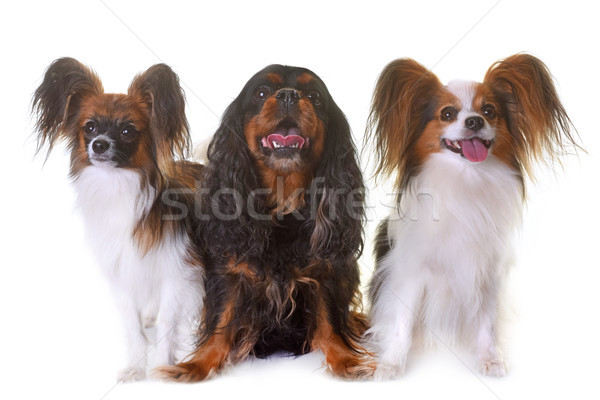 cavalier king charles and papillon dogs Stock photo © cynoclub