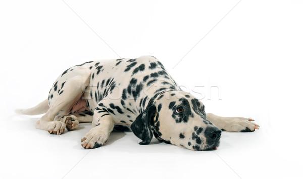 Dalmata portré fajtiszta fekszik fehér kutya Stock fotó © cynoclub