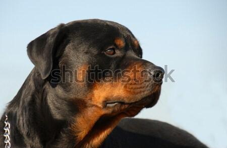 ロットワイラー 肖像 美しい を見て 犬 ストックフォト © cynoclub