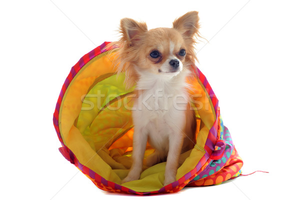 chihuahua in a colorful bed Stock photo © cynoclub