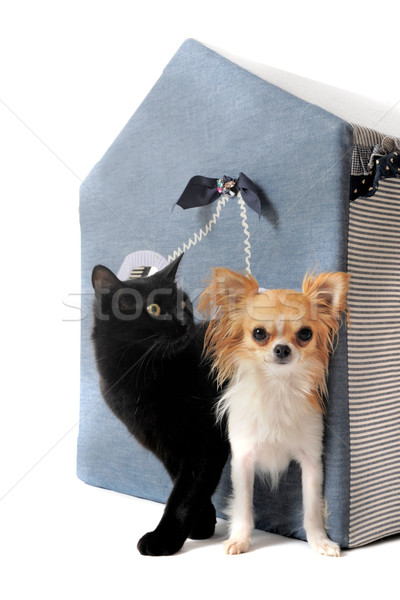 cat and chihuahua Stock photo © cynoclub