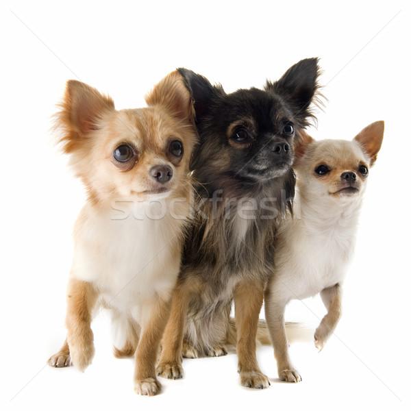 Foto stock: Retrato · cute · perro · grupo · blanco