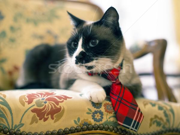 Sziámi macska nyakkendő gyönyörű fajtiszta szék macska Stock fotó © cynoclub