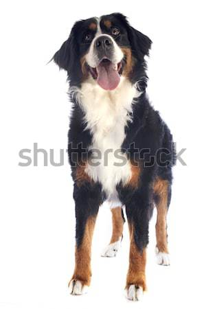 bernese moutain dog Stock photo © cynoclub