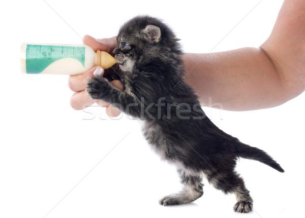 sucking kitten Stock photo © cynoclub