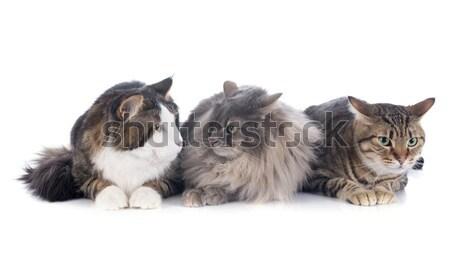 three cats Stock photo © cynoclub