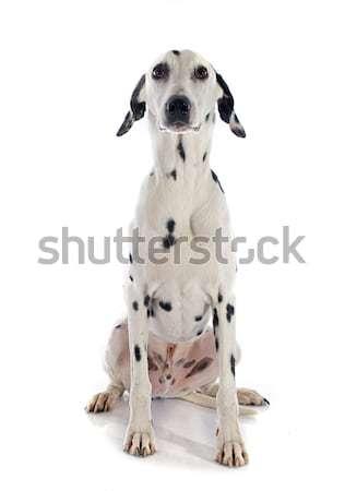 Сток-фото: далматинец · собака · белый · черный · мужчины · ПЭТ