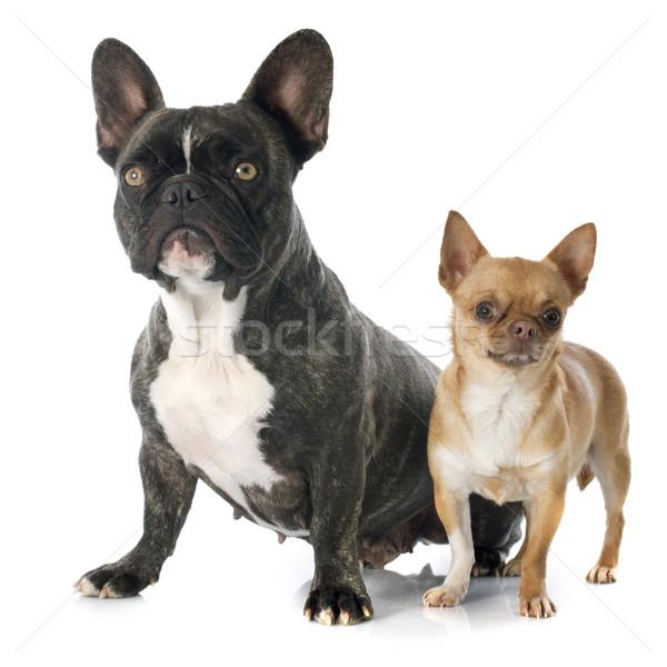 French bulldog and chihuahua stock photo emmanuelle - Bulldog frances gratis madrid ...