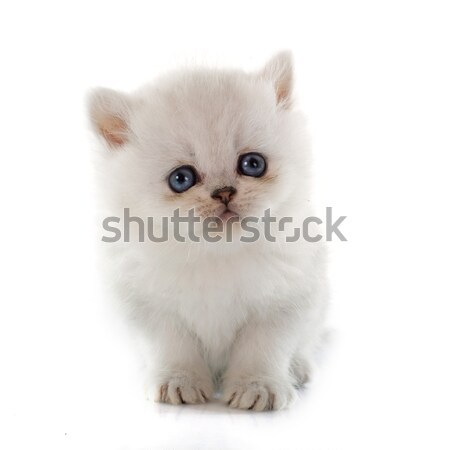 Chaton exotique shorthair blanche chat jeunes Photo stock © cynoclub