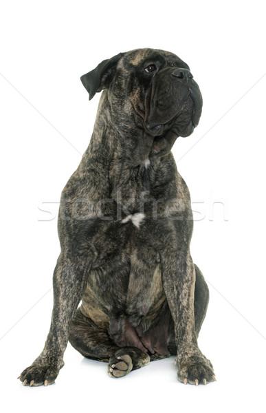 bull mastiff in studio Stock photo © cynoclub