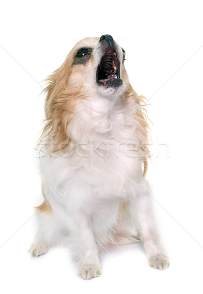 howling chihuahua in studio Stock photo © cynoclub