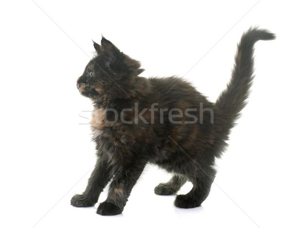 Maine kitten witte kat vrouwelijke angst Stockfoto © cynoclub