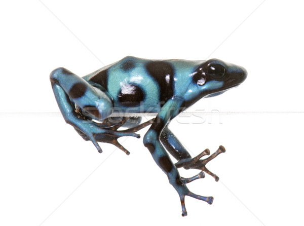 Stock photo: Dendrobates auratus celeste
