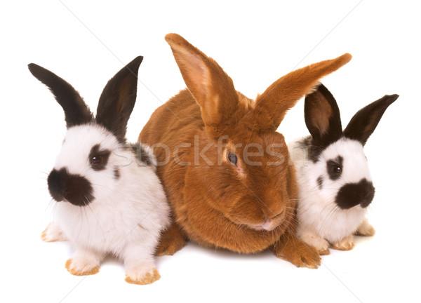 гигант кролик белый ребенка группа Сток-фото © cynoclub