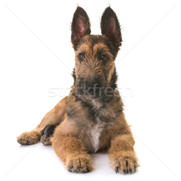 Kutyakölyök belga juhászkutya fiatal állat Stock fotó © cynoclub