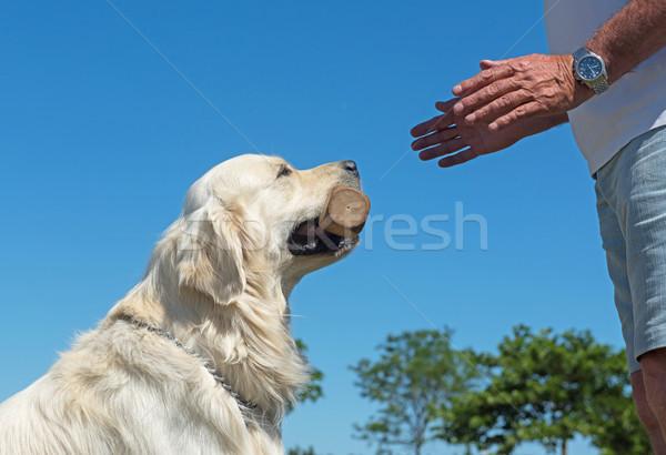 Szkolenia posłuszeństwo golden retriever strony drewna zwierząt Zdjęcia stock © cynoclub