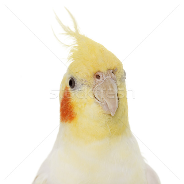 portrait of cockatiel Stock photo © cynoclub